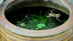Yellow frog swims around fish pond in raining day. (HD footage with sound) Stock Footage