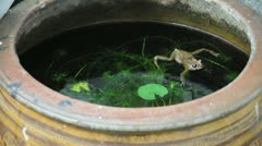 Yellow frog swimming around fish pond. (HD footage no sound) Stock Footage