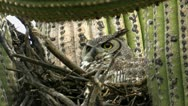 Owl Nests Cautious Alert Stock Footage
