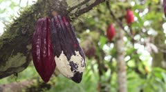 Cocoa pod suffering from Frosty Pod Rot on a plantation in the Ecuadorian Amazon Stock Footage