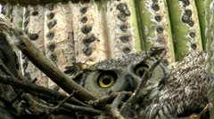 Great Horned Owl Scowls Eyes Warning Stock Footage