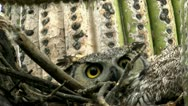 Stock Video Footage of Great Horned Owl Scowls Eyes Warning
