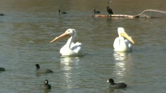 Pelicans Swimming At Lake Dallas Texas Stock Footage