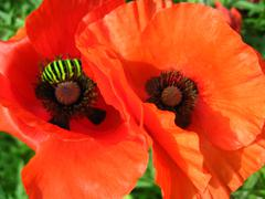 Beautiful red flowers of the poppy Stock Photos