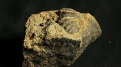 Fossil Brachiopod Stock Footage
