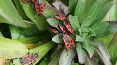 The firebugs in natural habitat / Pyrrhocoris apterus Stock Footage