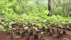 Mahogany seedlings (Swietenia macrophylla) Stock Footage