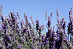 Lavender bush, aromatic plants Stock Photos
