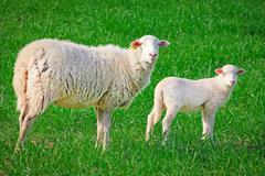 Sheep, ewe with baby lamb Stock Photos