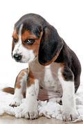 Puppy dog with attitude Stock Photos
