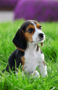 Pedigree beagle puppy playing outside in the grass Stock Photos