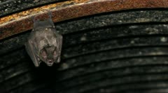 Bats hanging from the roof of a road culvert in the Ecuadorian Amazon Stock Footage