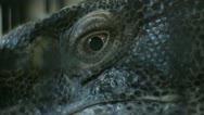 Stock Video Footage of Monitor Lizard's Eye