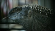 Monitor Lizard Sticks Tongue Out Stock Footage