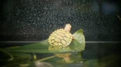 Stock Video Footage of Albino Water Turtle in Aquarium