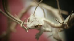 Stock Video Footage of Albino Crested Gecko in tree
