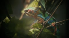 Colorful Chameleon Looks At Camera Stock Footage