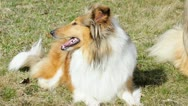 Stock Video Footage of American truebred collie dog