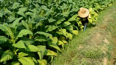 Farmer harvest tobacco leaf in farm plant Stock Footage