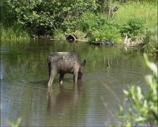 Moose cow in water - drinking Stock Footage