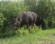 Moose bull foraging, eating twigs Stock Footage