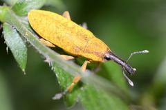 Snout Beetle - stock photo