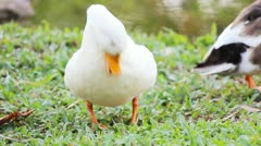 Duck in the farm Stock Footage