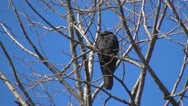 Sleepy Crow Sitting on a Branch up in the Tree, Ravens, Crows, Birds Stock Footage