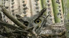 Owl  Glares From Saguaro Cactus Nest Stock Footage