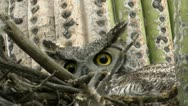Owl  Glares From Saguaro Cactus Nest Stock Footage