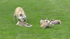 English Bulldog playing wit pups on lawn Stock Footage