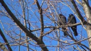 Couple of Crows Sitting on a Bare Branch, Ravens on a Windy Day, Birds Stock Footage