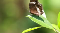Butterfly Solo On Leaf Stock Footage