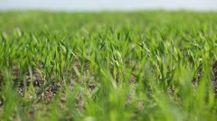 Green winter-crops. Stock Footage