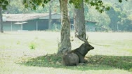 Stock Video Footage of Deer uses it's antler scratch back due to irritation at National Park, Thailand.