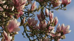 Magnolia x Soulangeana JFE Hamelin - flowering branch Stock Footage