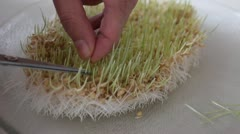 Sprouted Wheat Stock Footage