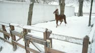 Stock Video Footage of Horse. Motion picture of  horse in farm.