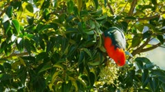 King parrot feeding Stock Footage