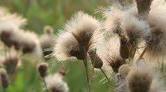 thistle flowers lint - stock footage