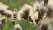 Stock Video Footage of thistle flowers lint