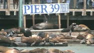 Sea Lions Stock Footage
