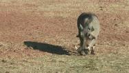 Warthog feeding on the ground Stock Footage