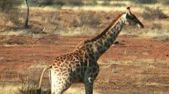 Giraffe walking trough the bush Stock Footage