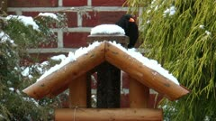 Common blackbird eating snow in winter Stock Footage