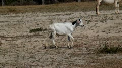 Goats, Farm Animals Stock Footage