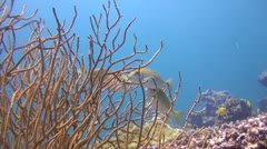 Fish eating Coral, Clip 1 of 2 Stock Footage