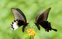 Swallowtail butterfly share flowers Stock Photos