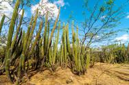 A Forest of Cactus Stock Photos