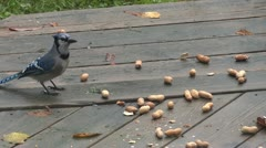 Blue Jay and the Peanut Stock Footage